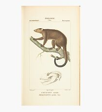 Zoological Atlas - Collection de 100 Planches' by Paul Gervais  - COUSCOUS oursin PHALANGISTA ursina. Temm. Photographic Print
