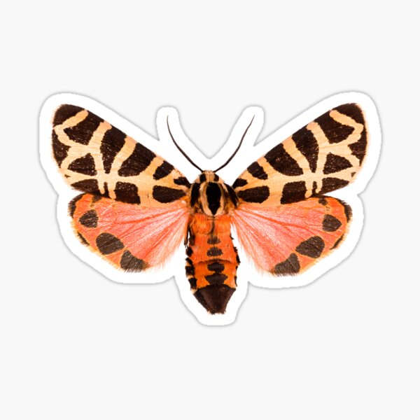 Pink Tiger moth (Grammia incorrupta) Sticker