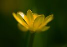 Buttercup by Nigel Bangert