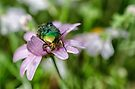 The Rose Chafer by Kasia-D