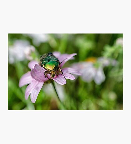 The Rose Chafer Photographic Print