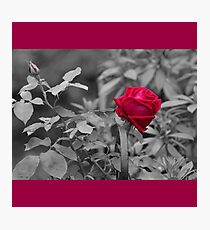Romantic pastel gray red girly roses floral Photographic Print