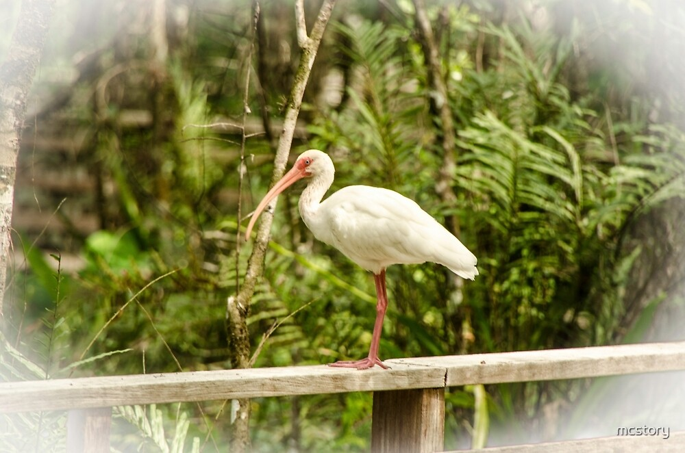 White Ibis by mcstory