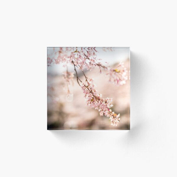 White blossoms in Spring landscape, cherry blossoms Japan Acrylic Block