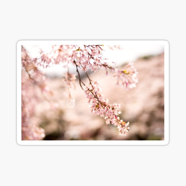 White blossoms in Spring landscape, cherry blossoms Japan Sticker