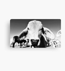 Brahman cow in black and white Canvas Print