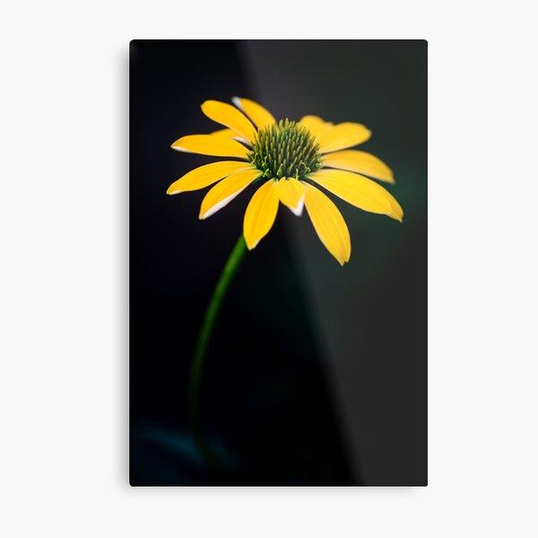 Yellow Cone Flower on a dark background Metal Print
