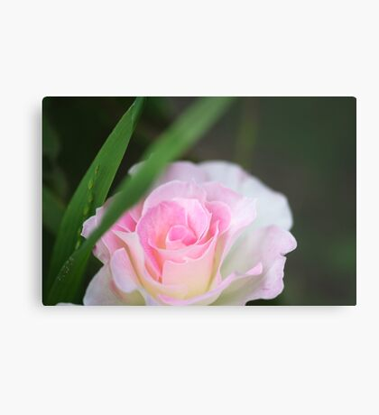 Seduced by a Rose Metal Print