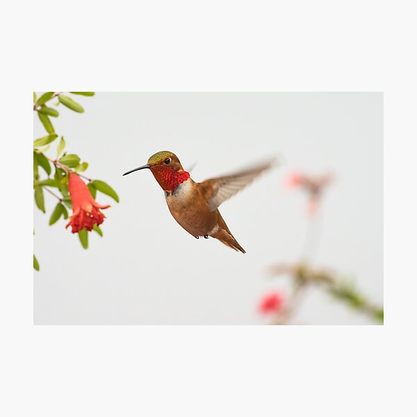 Rufous Hummingbird Photographic Print