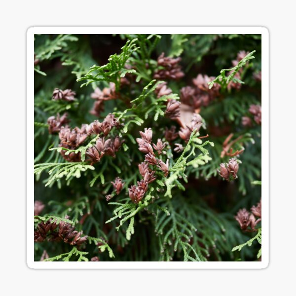 Maybe there are some seeds too. Northern white cedar Sticker