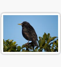 Starling Sticker