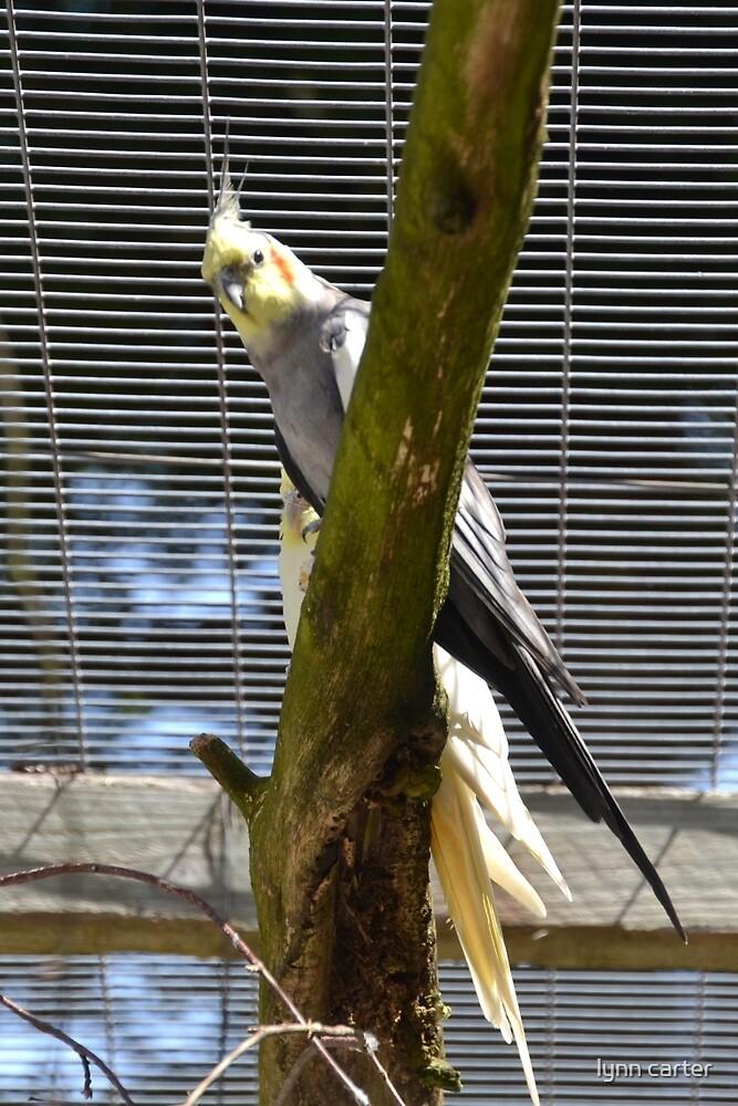 Cockatiels watching me........... by lynn carter