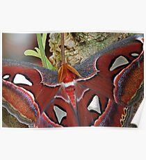 Atlas Moth Poster