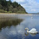 Swans on Inishfree Lake by Gerry  Temple
