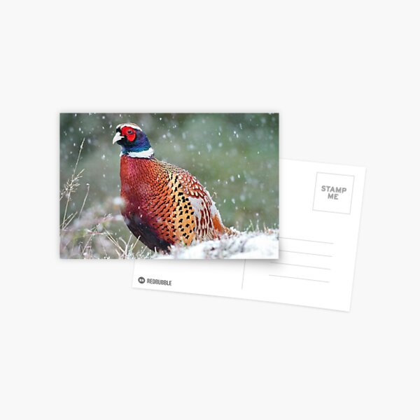 Male Pheasant in the Snow Postcard