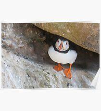 Puffin under a rock, Saltee Islands, County Wexford, Ireland Poster