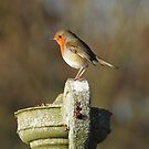 Little Robin by weecritter