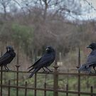 Murder of Crows - Paris by jpvalery