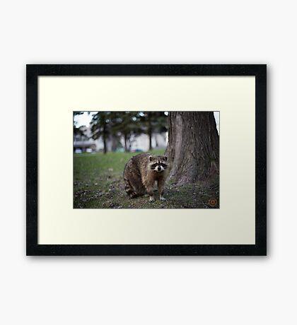 """Defiance"" - Raccoon portrait Framed Print"