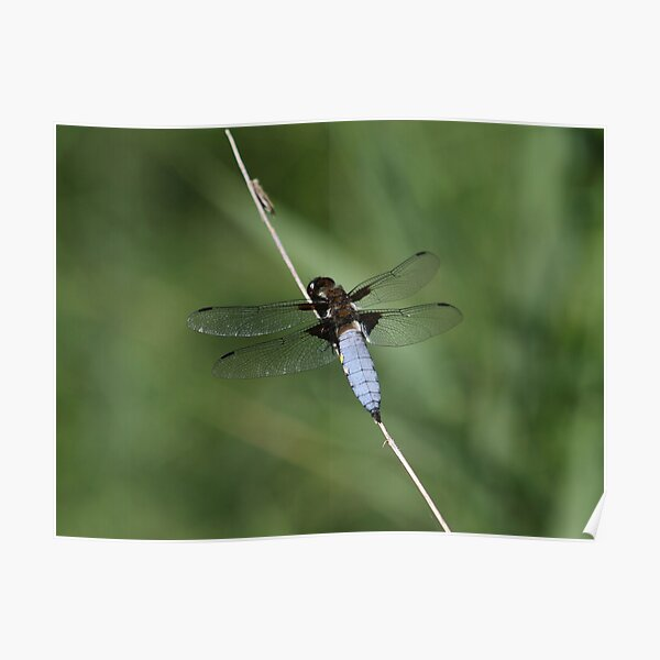 Flat-bellied dragonfly Poster