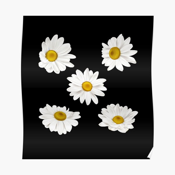 white chamomile flowers Poster