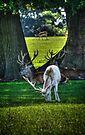 White Fallow Deer by Nigel Bangert