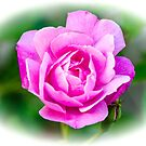 Pink Rose White Vignette by mcstory