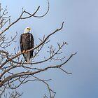 Bald Headed Eagle by Patrick Kavanagh