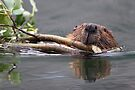 Beaver and Reflection by WorldDesign