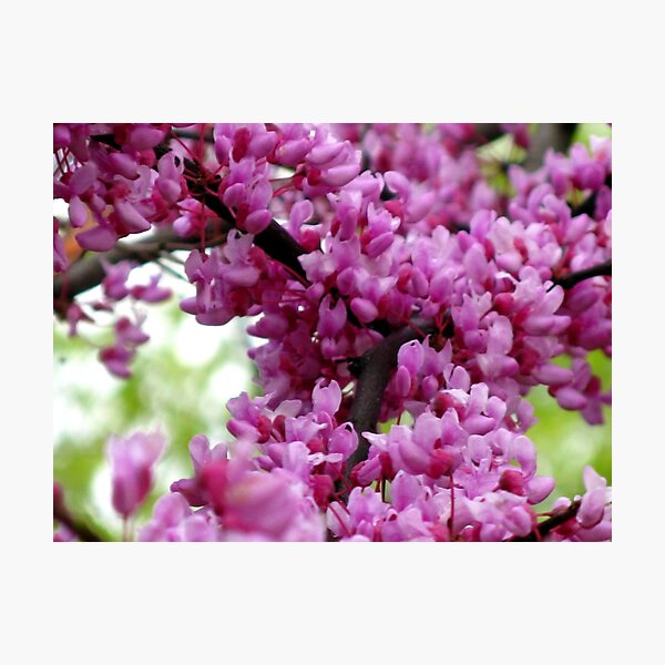 Redbud Branch Photographic Print