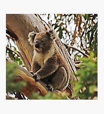 Backyard Koala Photographic Print