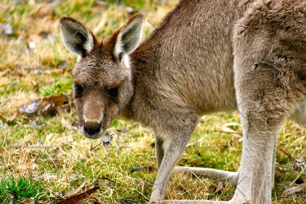 Kangaroo by eidann