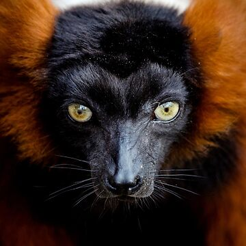 LEMUR by IMPACTEES
