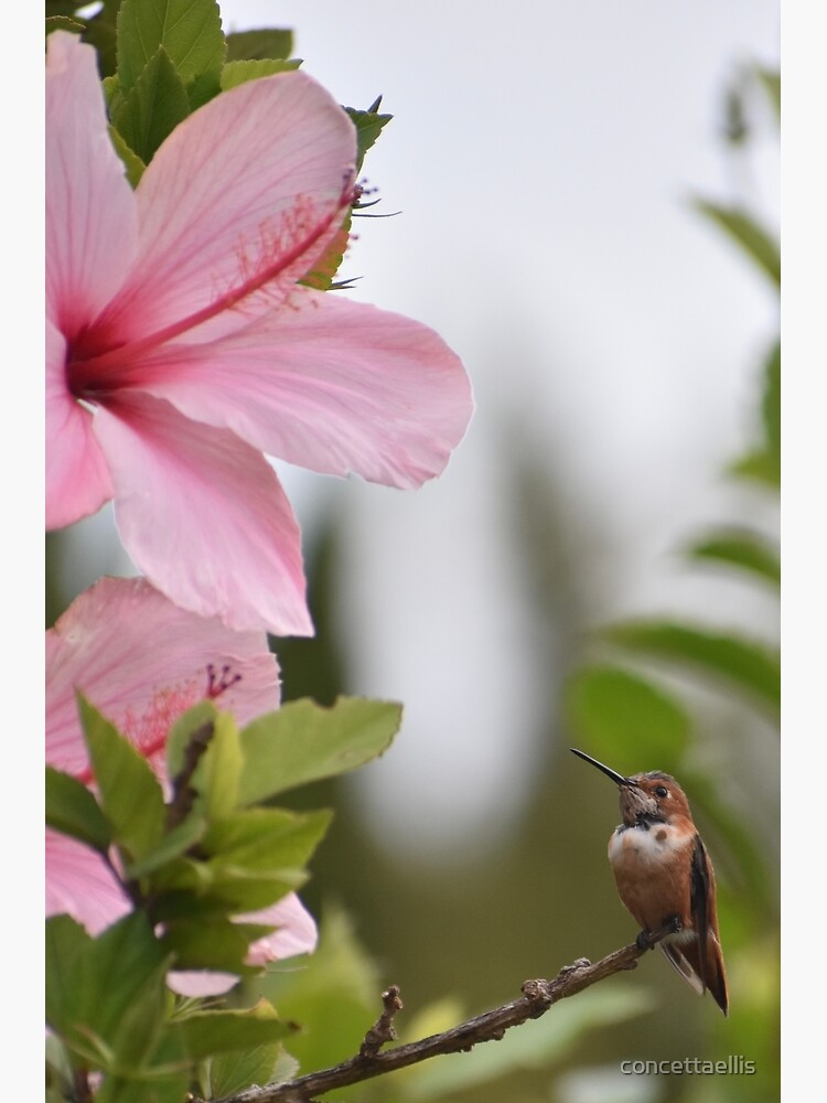 Two hummingbirds and Pink Hibiscus flowers