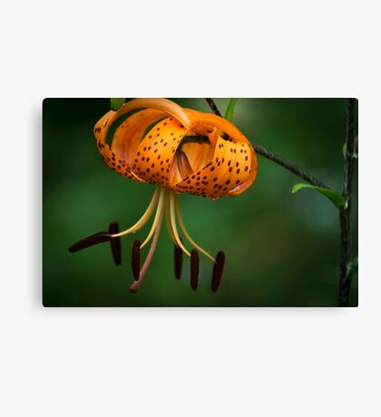 Tiger Lilly disguised as a Leopard Lilly Canvas Print