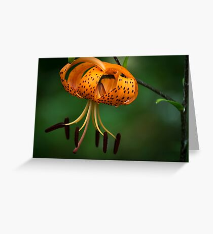 Tiger Lilly disguised as a Leopard Lilly Greeting Card