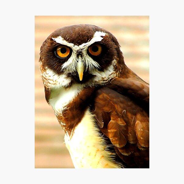 Spectacled Owl, Pulsatrix Perspicillata Stock Image - Image of beak,  carnivore: 20638065
