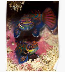 Mandarinfish Pair Poster