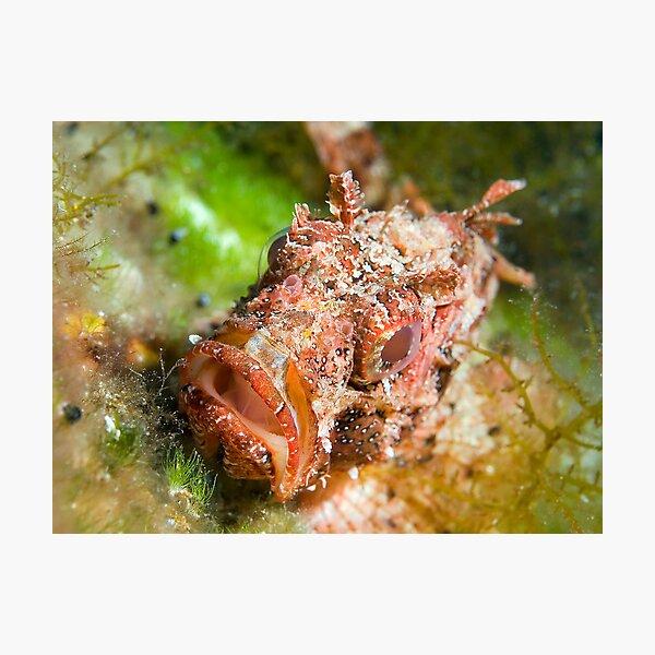 Dwarf Scorpionfish Photographic Print