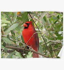 Regal Cardinal Poster
