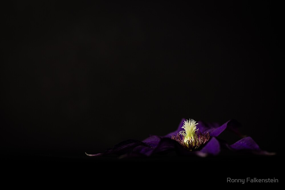 Clematis by Ronny Falkenstein