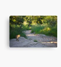 Leopards in South Africa Canvas Print