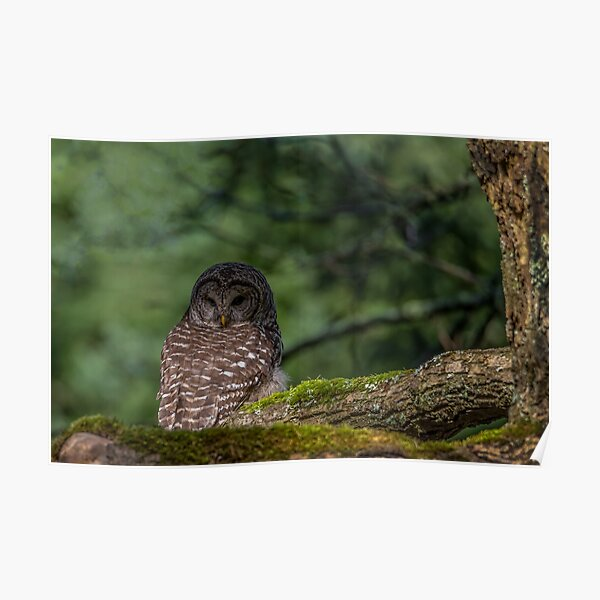 Barred Owl Pacific Northwest Poster