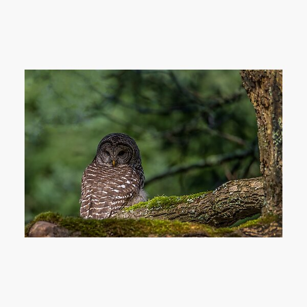 Barred Owl Pacific Northwest Photographic Print
