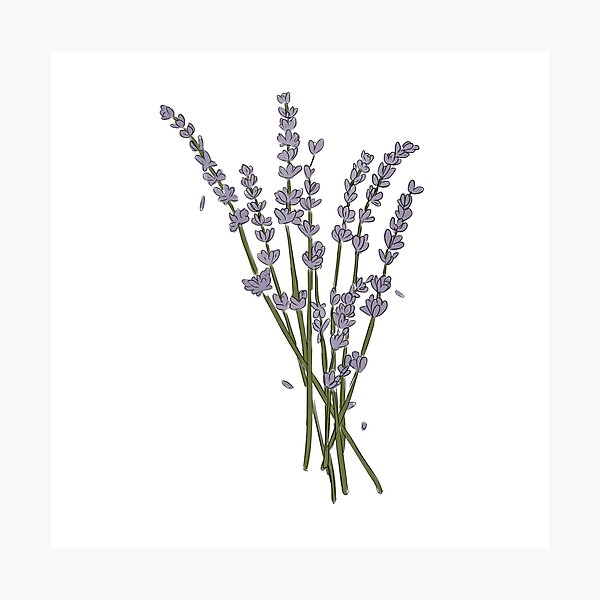 Lavender sprigs Photographic Print