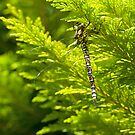 Dragonfly, resting. by Mark Smith