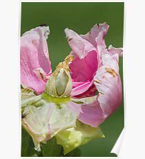 dried peony in the garden Poster