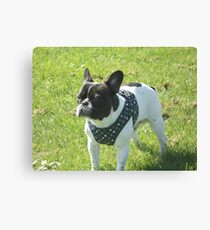 Boris The French Bulldog Canvas Print