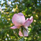 Süße Frustration - Die Rose jenseits der Mauer von BlueMoonRose