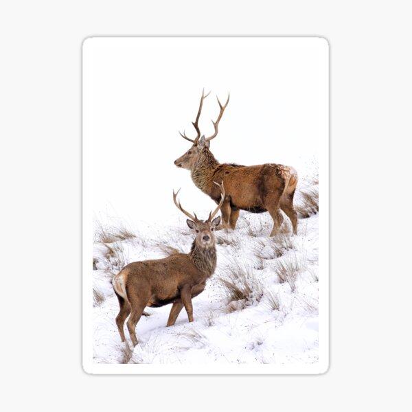 Scottish Red Deer Stags Sticker